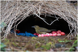 Photo: Bowerbirds have not developed beautiful feathers, they have developed skills in building beautiful bowers.  People: what as a man doesn't have in looks, he can make up for in resources that will nourish and protect his mate and offspring. Men show off cars, clothes and houses to attract a females. Usability is not always the most important factor when millionaires buy expensive things.   David Attenborough is the greatest nature documentary maker:  http://www.dailymotion.com/video/xsynmo_bowerbirds-the-art-of-seduction-by-david-attenborough_shortfilms