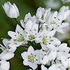 Daffodil Garlic