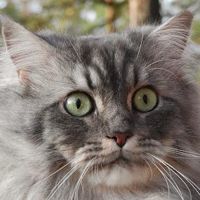 Pan Kocour by Věra Tudy - Animals - Cats Portraits