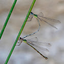 Caballitos del diablo (Willow emerald damselfly)