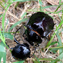 Humpback Dung Beetle