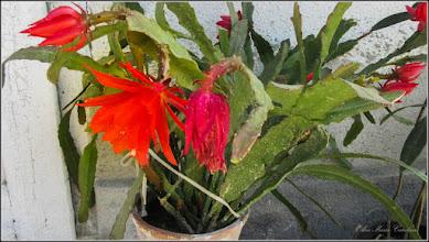 Photo: Cactus (Cactaceae) - din Turda de pe Str. Salinelor