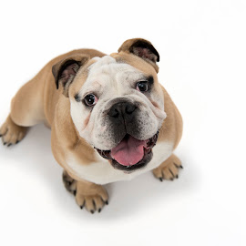 British Bulldog by Jude Stewart - Animals - Dogs Portraits ( bulldog, judithstewart, pet, puppy, portrait,  )