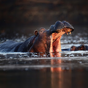 Hippos on the Kafue river by Bostjan Pulko - Animals Other Mammals ( hippo, kafue )