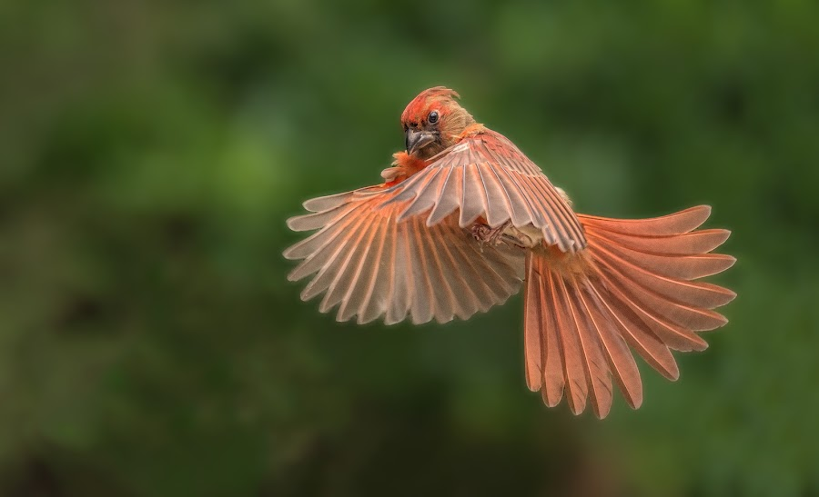 Male Cardinal In Flight by Roy Walter - Animals Birds ( animals, male cardinal, nature, wildlife, birds )