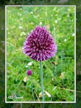 Photo: Ail à tête ronde, Allium sphaerocephalon