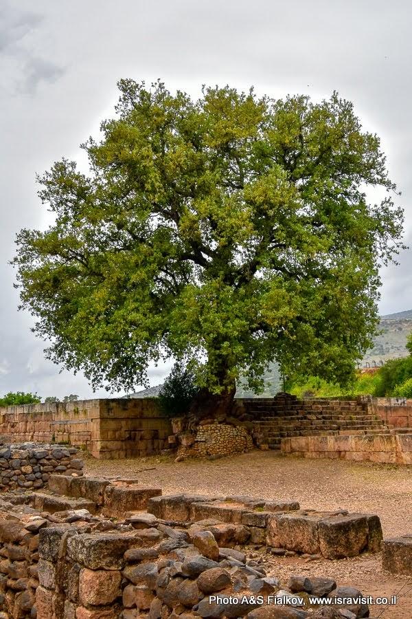 Старый дуб в городе Дан. Заповедник Тель Дан.