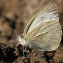 Indian Cabbage White