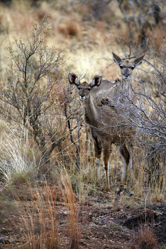 September 15,2015.  WATCHFUL   GAZE : A pair of nyala hiding in the bush. Pic: Vathiswa Ruselo. © Sowetan.