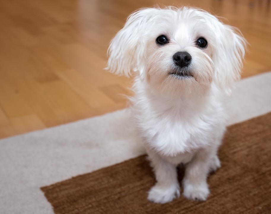 Dog, Young Dog, Maltese, White, Small, Sweet, Cute