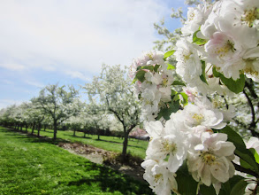 Photo: White apple blossoms by the Crab Apple Alley at Cox Arboretum and Gardens Metropark in Dayton, Ohio.