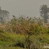 red-naped ibis,  Indian black ibis