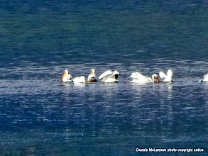 Photo: Pelicans on Jackson Lake