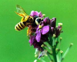 """Photo: Une """"araignée-napoléon"""" (araignée-crabe) - """"Synaema globossum"""" - dissimulée dans une fleur de monnaie du Pape capture une abeille."""