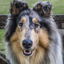 Hank the Mini Pony by Paul Milliken - Animals - Dogs Portraits ( rough collie, lassie dog, collie, sydney australia, collie dog )