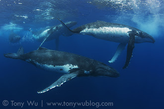 Photo: Four of the humpback whales in a five-whale heat run