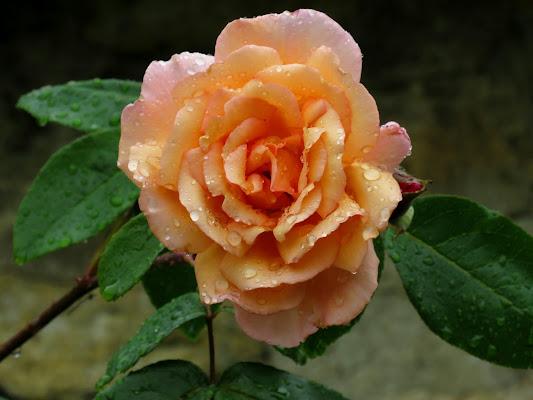 Rosa bagnata di Giorgio Lucca
