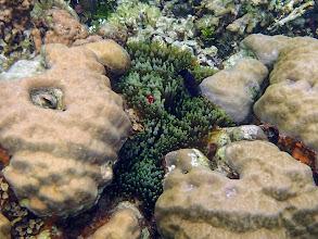 Photo: Premnas biaculeatus (Maroon Clownfish) with Entacmaea quadricolor (bubble anemone), Sand Island, Palawan, Philippines.
