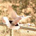 African-collared Dove