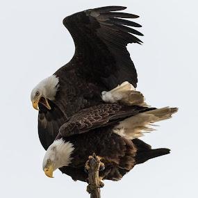 Making freedom by Chris Clay - Animals Birds ( love, bird, iowa, eagle, bald eagle, mating, eagles )