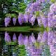 Purple Flower Garden LWP Download for PC Windows 10/8/7