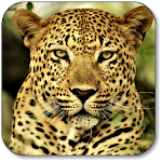 Leopard Wallpapers