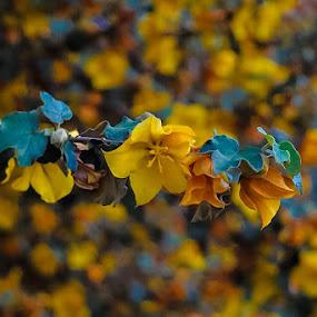 Flannel Bush by Brendan Mcmenamy - Novices Only Flowers & Plants ( orange, tree, bush, yellow, flannel )