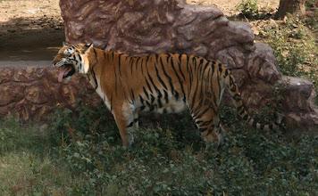 Photo: Tiikeri - Jaipurin eläintarhassa, turvallisesti (katsojan kannalta!) aitauksessa