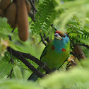 Blue Throated Barbet