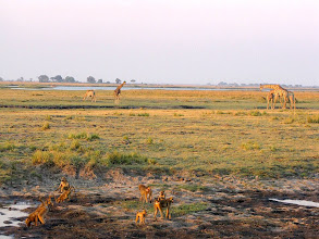 Photo: Chobe National Park, Riverfront - giraffes and monkeys