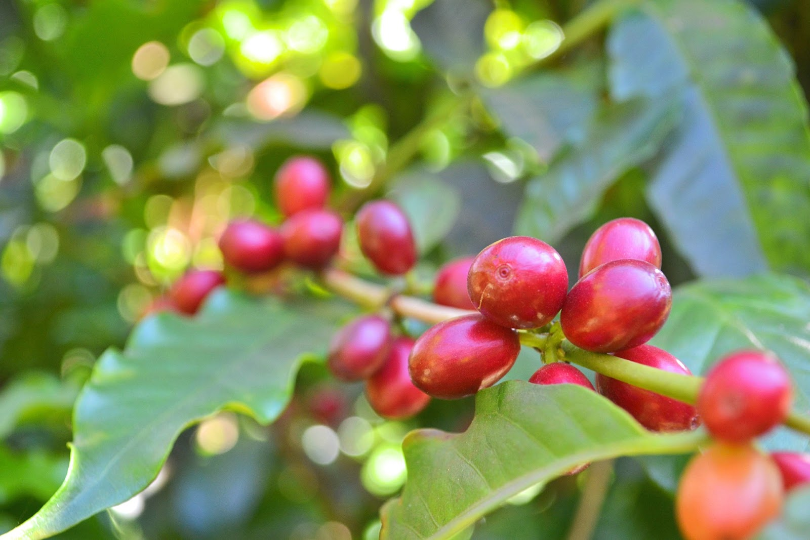 cerises de café sur un caféier