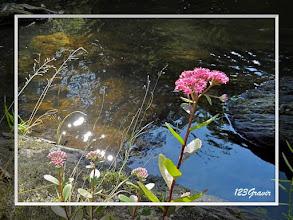 Photo: Orpin reprise (Hylotelephium telephium) au bord de l'Ourthe