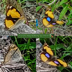 Yellow and Black Butterfly with two Blue spots