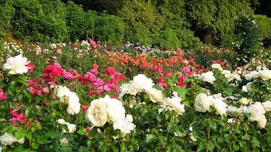 Photo: International Rose Test Garden, Washington Park, Portland