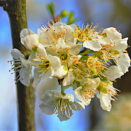Plum Tree Blossom by Bill Martin - Flowers Tree Blossoms ( spring, white petals, flowers, white, nature, blossoms,  )
