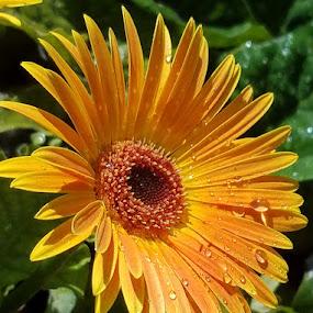 Orange gerbur daisy East wall by Jeffrey Lee - Flowers Flower Gardens