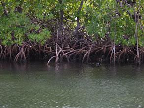 Photo: Mangrove.