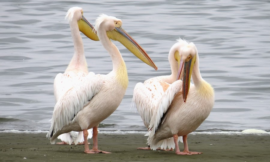 Pelicans on the Lagoon by Jo-Ann de Smit - Novices Only Wildlife