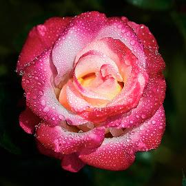 0 Rose 9619~ 1 by Raphael RaCcoon - Flowers Single Flower