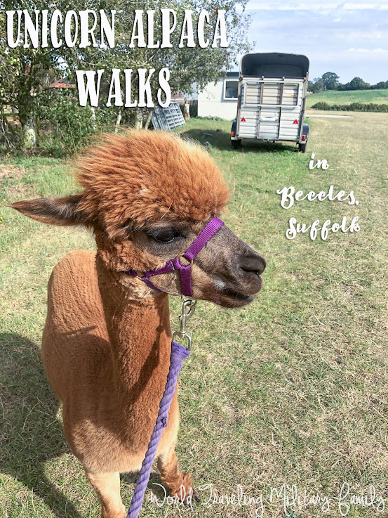 Unicorn alpaca walks - Beccles, Suffolk