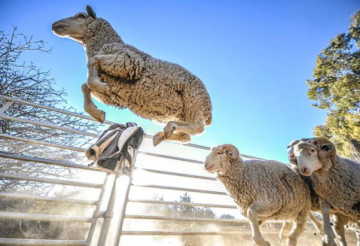 Livestock thieves on the prowl during festive season, warn police