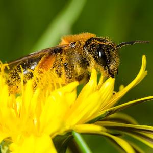 Bee in flower.jpg