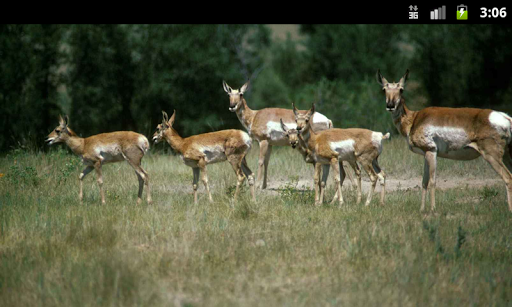 Pronghorn Antelope - Wallpaper