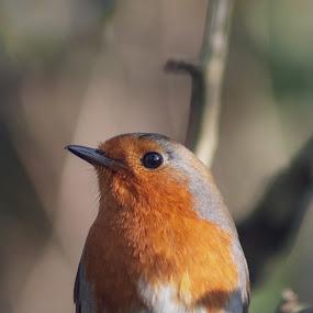 Posy robin by Danny Charge - Animals Birds ( robin, close up, nature, bird, animal, birds, cute, wildlife )
