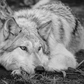 Let Sleeping Wolves Lie by Viks Pix - Animals - Dogs Portraits ( rest, resting, husky, wolf, lay, lie, sleeping, alaskan, wolves, malamute, hybrid, wolfdog, dog, wild, lying )