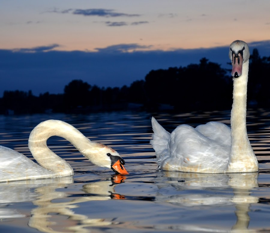 Swans at night by Ross Munro - Animals Birds
