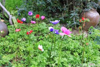 Photo: 拍攝地點: 梅峰-溫帶花卉區 拍攝植物: 白頭翁 拍攝日期: 2014_12_17_FY