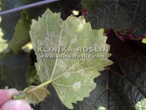 Photo: Mączniak rzekomy - obfite zarodnikowanie po spodniej stronie liści