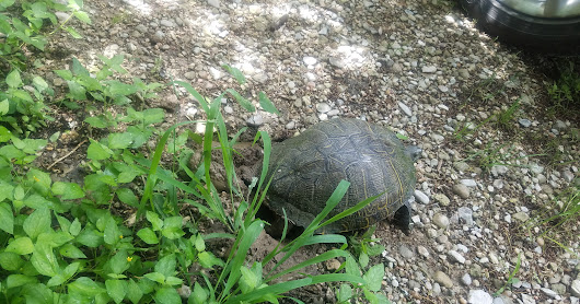 Turtle lays eggs in our yard