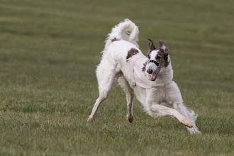 Photo: Barsoi, Coursing, Spitzerberg